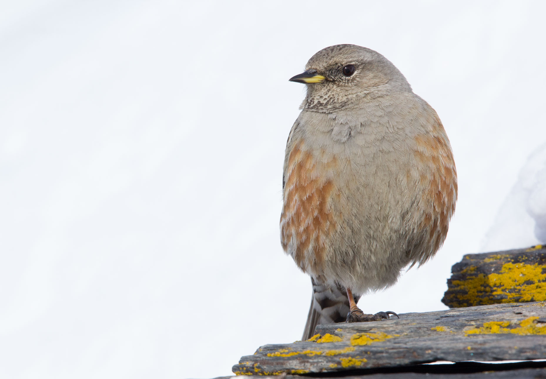 Alpine Accentor in Val Thorens, 22nd March 2018
