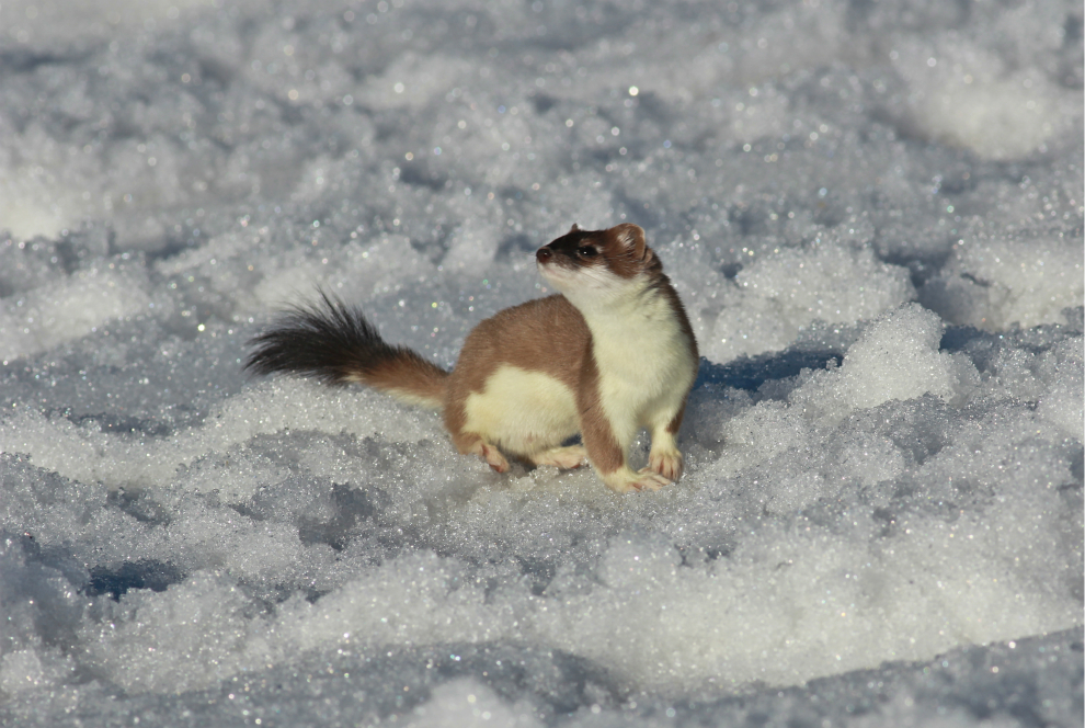 Stoat, Val Thorens