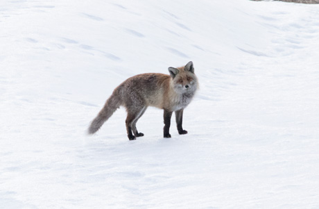 Fox, Val Thorens