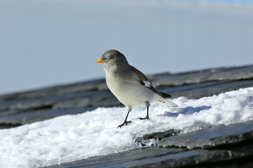 Snow finch in Val Thorens